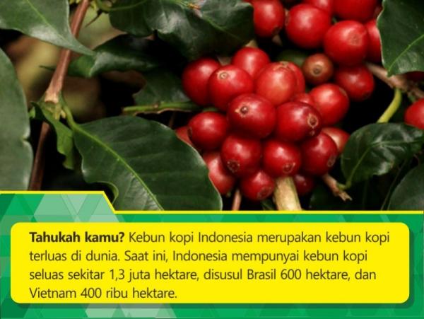 kebun kopi indonesia terluas