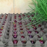 menanam bawang merah dengan hidroponik