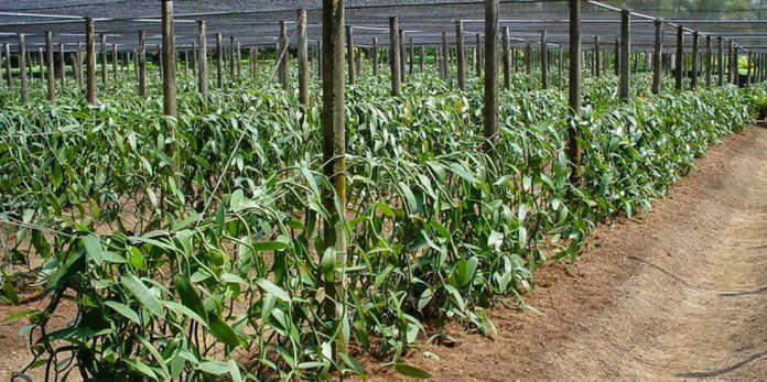 Lahan Pertanian Tanaman Vanili