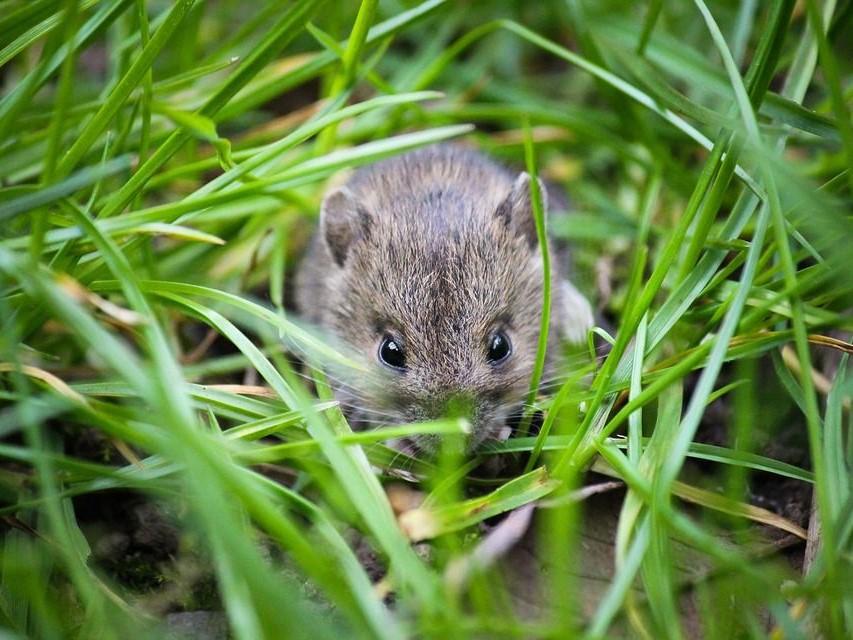 Cara Ampuh Mengusir Hama Wereng dan Tikus di Sawah