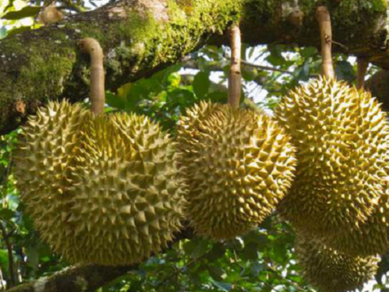 Durian Sisamud