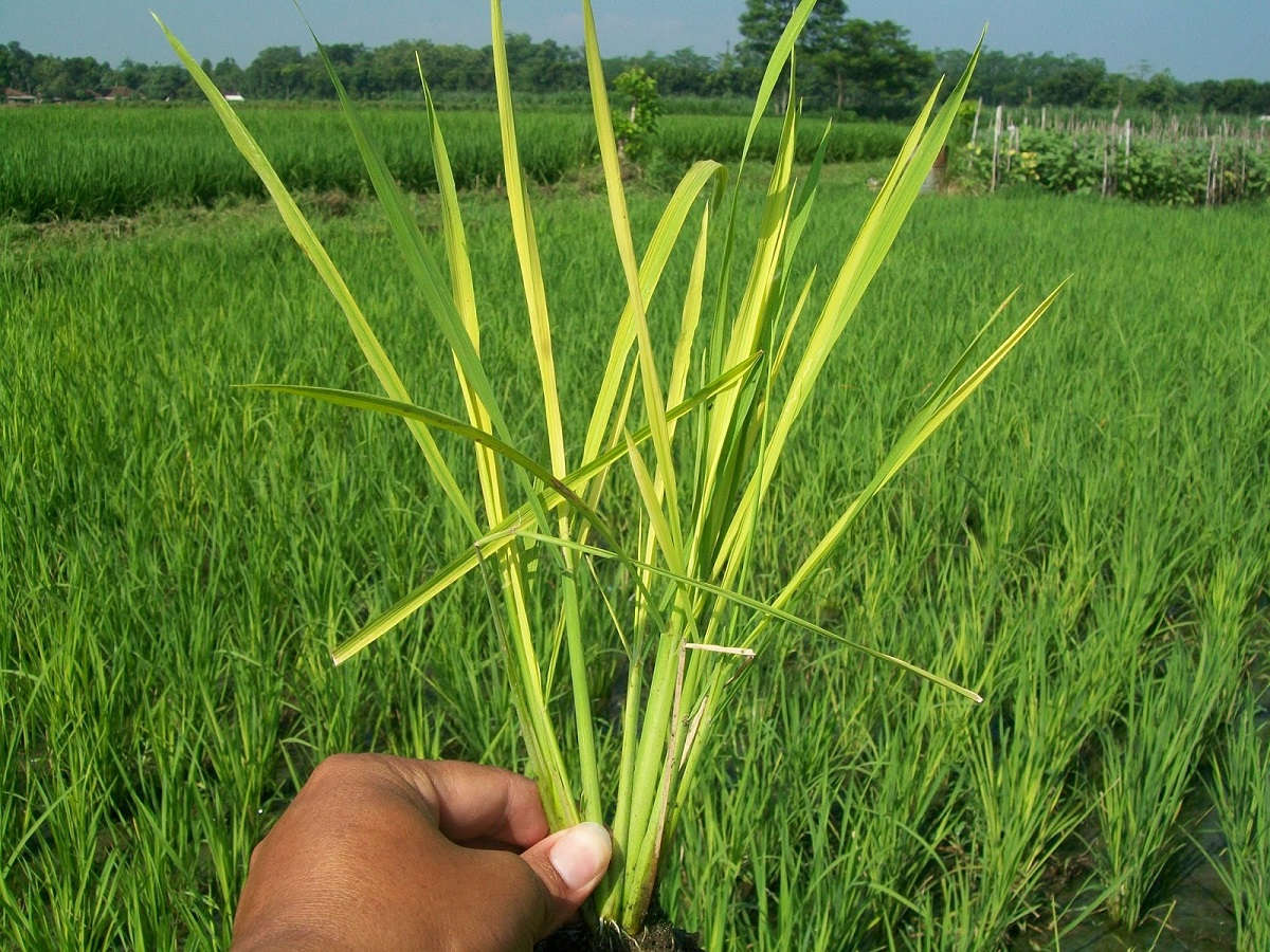 Gejala penyakit tungro pada padi