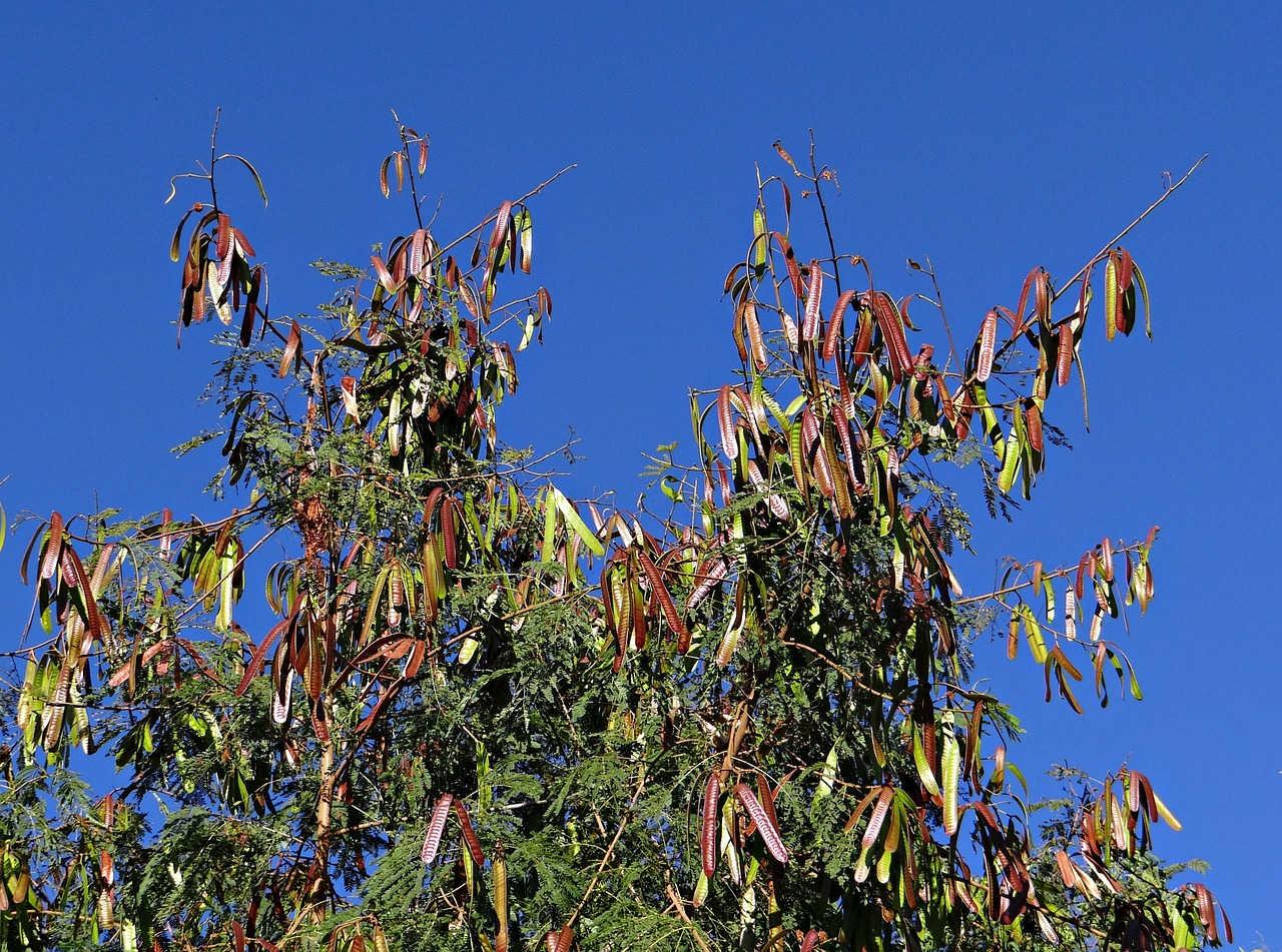 Lamtoro sebagai tanaman naungan kopi