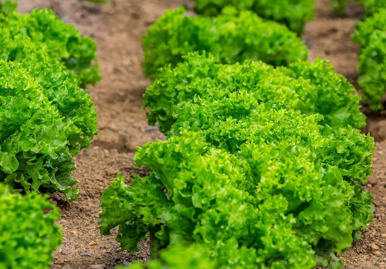 Menjaga kebersihan lahan tanaman selada