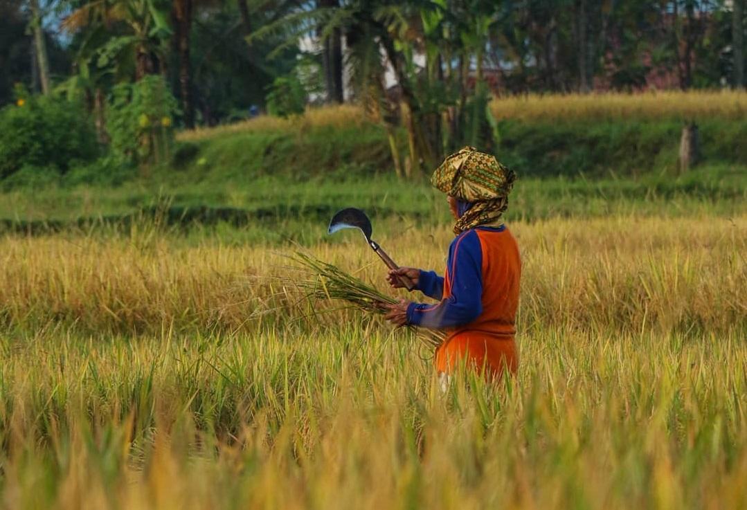 Petani dapat meningkatkan pendapatan dengan bergabung dalam koperasi pertanian