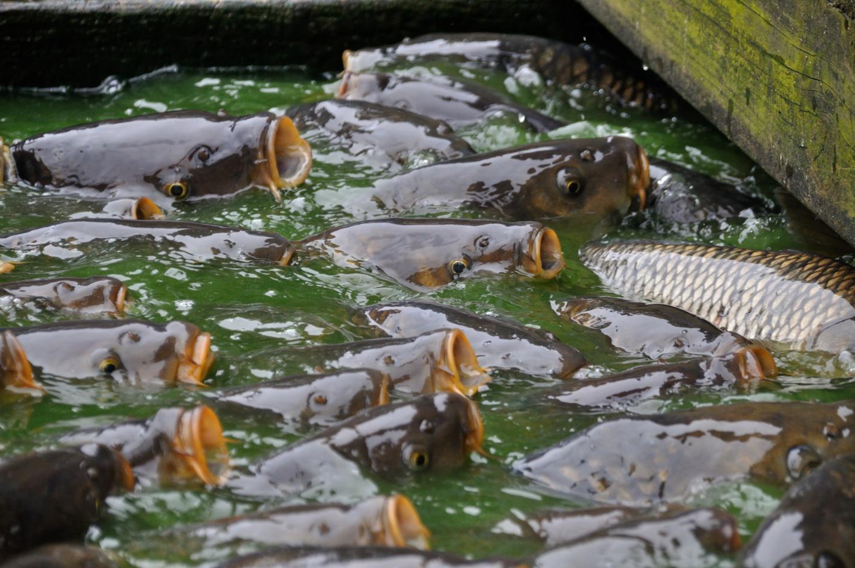 Ketahui 5 Syarat Tumbuh Ikan Mas Sebelum Membudidayakannya ...