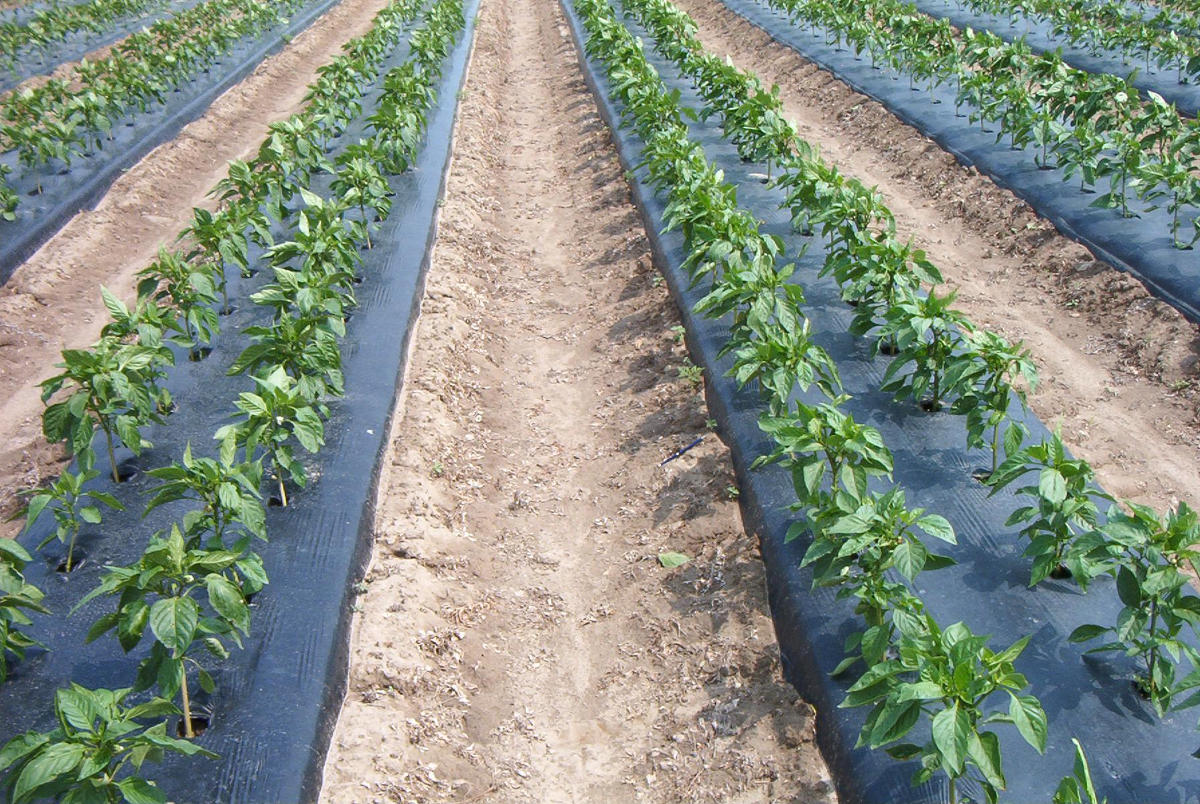 5 Cara Mencegah Kering Batang pada Tanaman Cabai