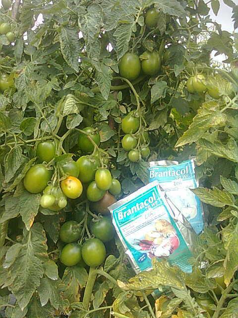 Fungisida untuk Tomat