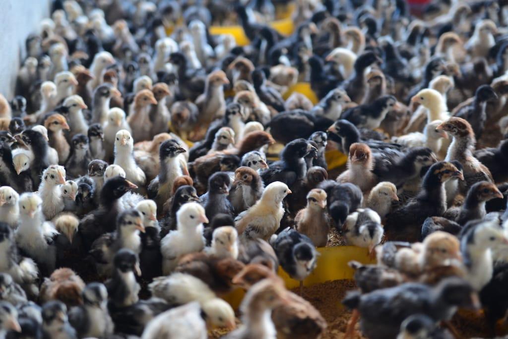 Tips Membeli Anak Ayam Kampung Unggulan