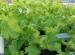 Perbedaan Sayur Hidroponik VS Organik