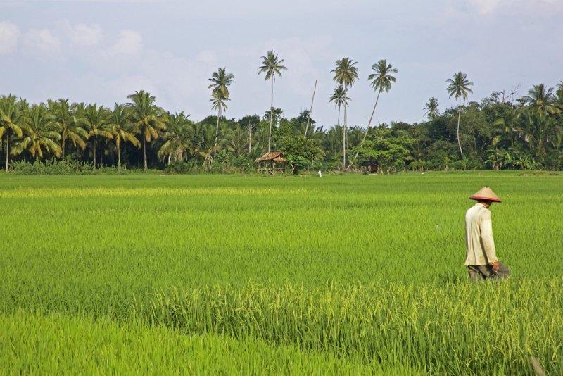 fakta padi indonesia