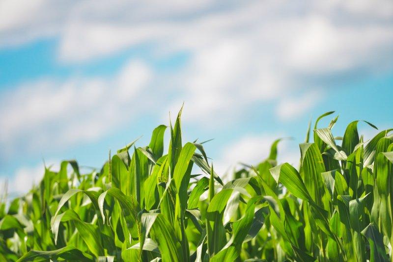 mengatasi penyakit pada jagung