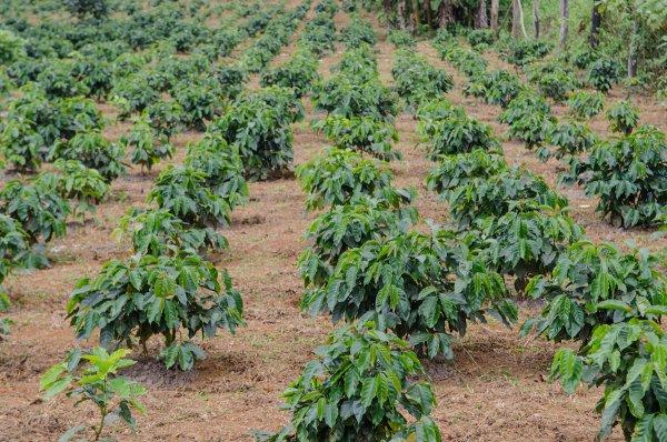 produksi kopi indonesia menurun