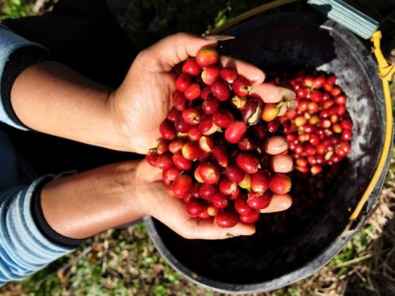 ekspor kopi indonesia tinggi