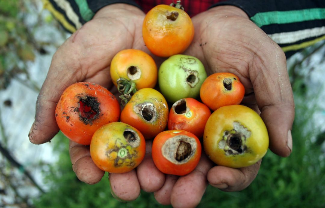 cara mengatasi hama pada tomat