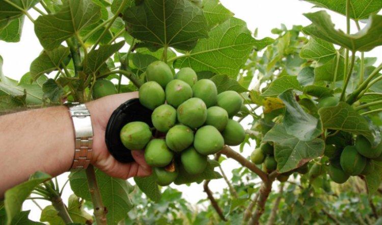 tanaman jarak dapat menghasilkan biodiesel