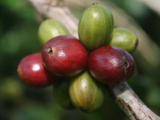 cara mengetahui karakteristik kopi robusta