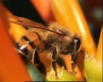 Lebah Memakan Nektar pada Bunga