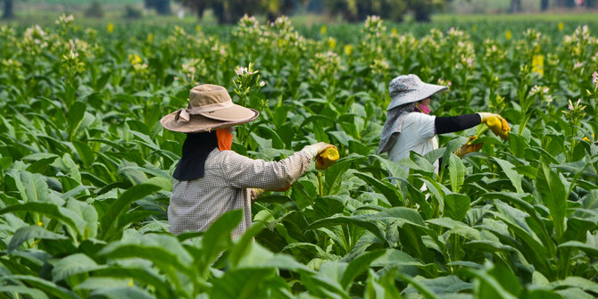 nasib pekerja kebun tembakau indonesia