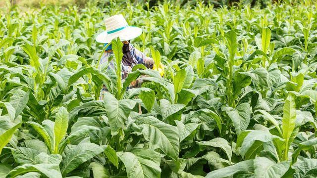 Produksi Tembakau di Indonesia