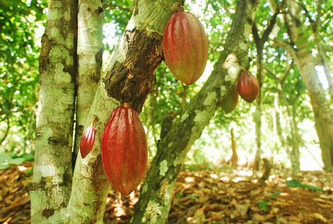 Tumbuhan Kakao