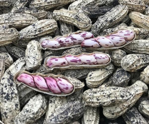 Kacang Lurik, Kacang Tanah Varietas Unggul yang Tahan Penyakit