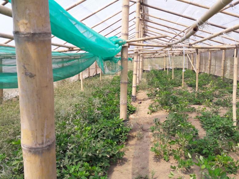 Lahan Pertanian Kacang Tanah