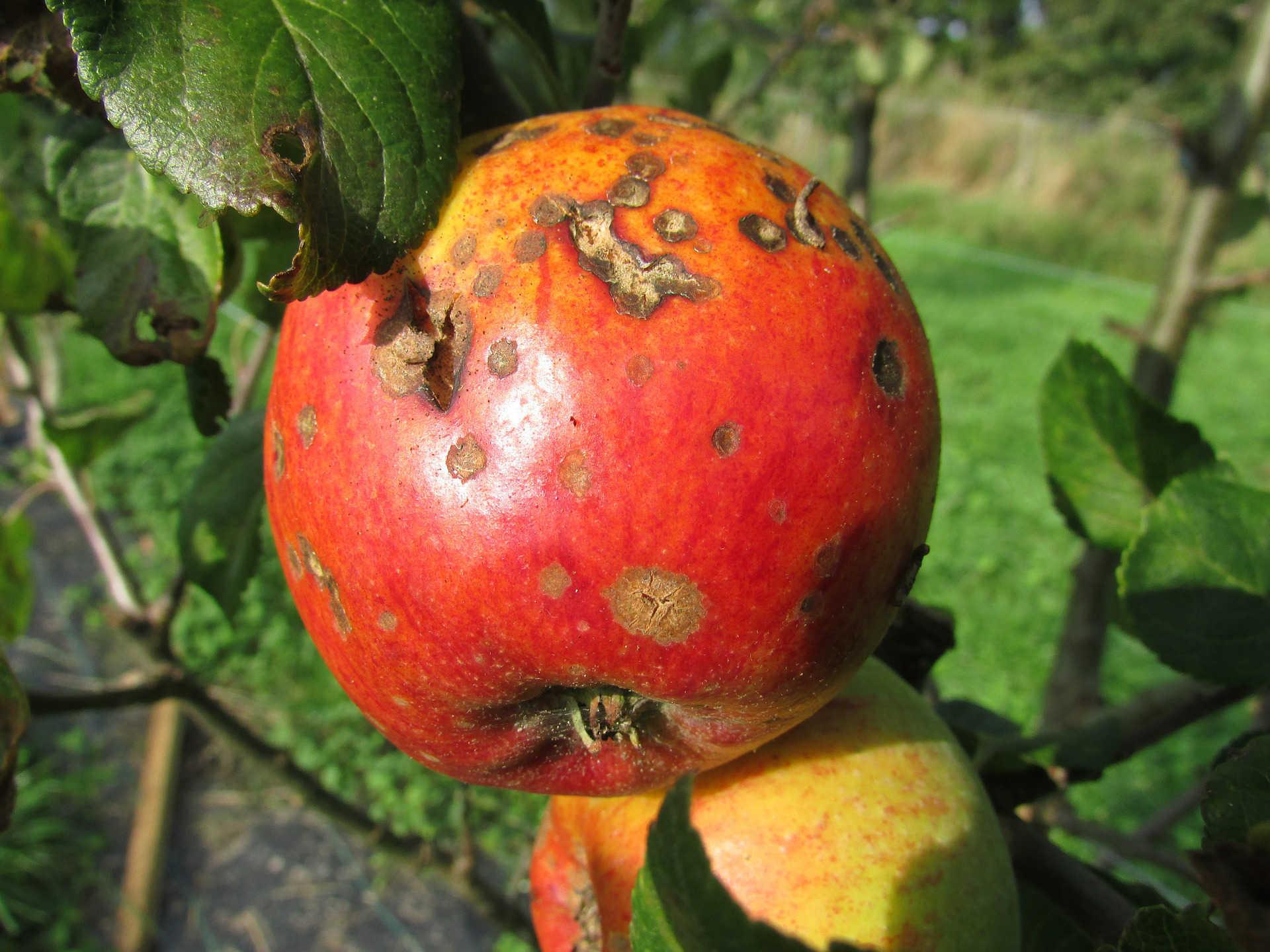 Tanaman buah apel yang terkena penyakit
