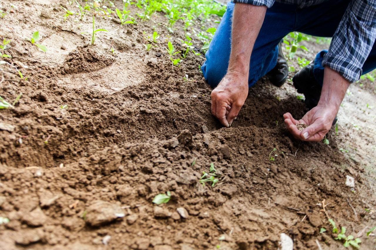 Petani menanam benih