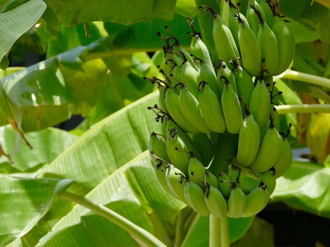 Inilah cara pembibitan pisang yang murah dan sederhana