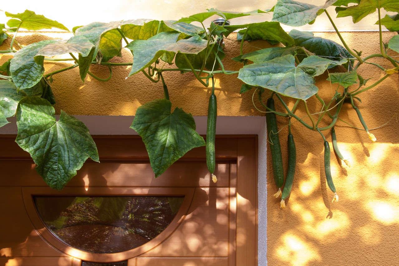 Menanam mentimun di rumah dengan urban gardening