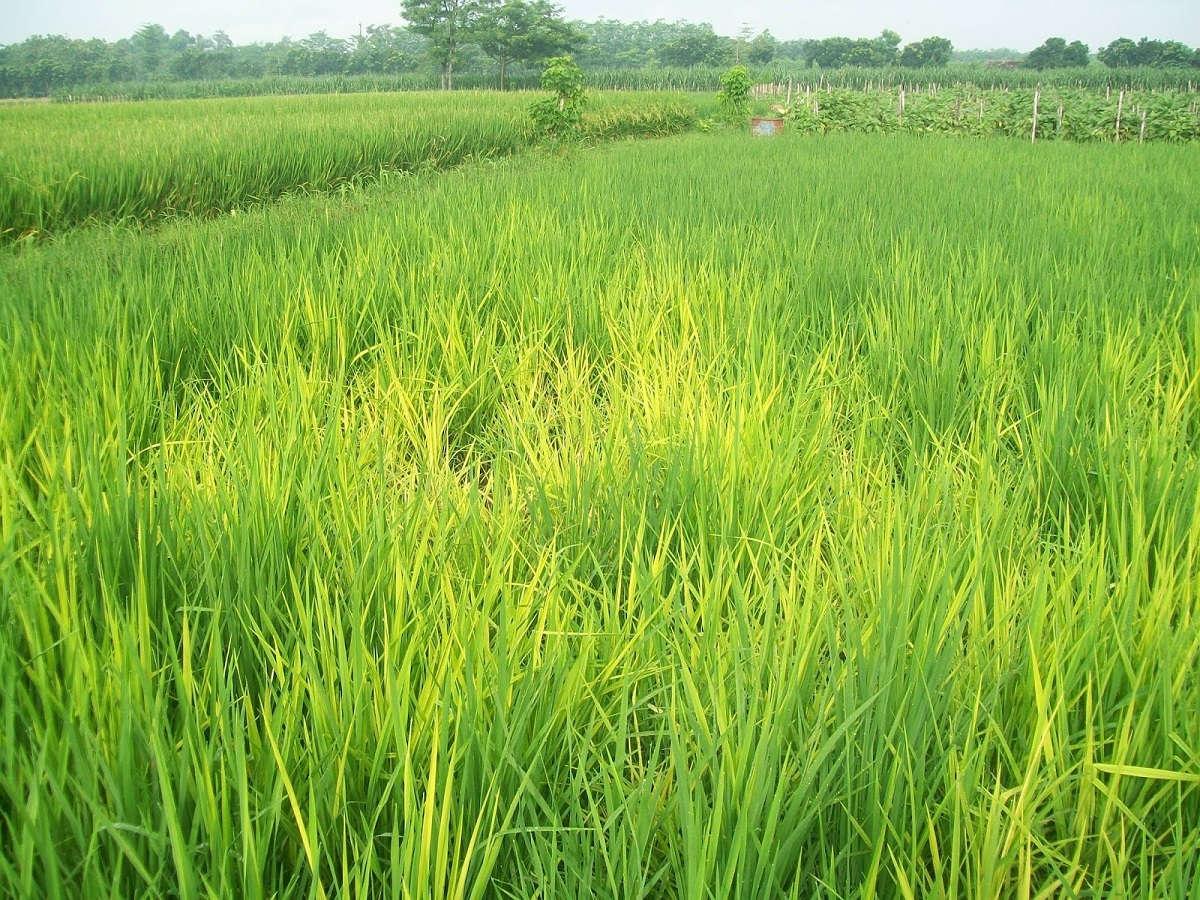Mengenal penyakit tungro pada padi dan cara mengatasinya