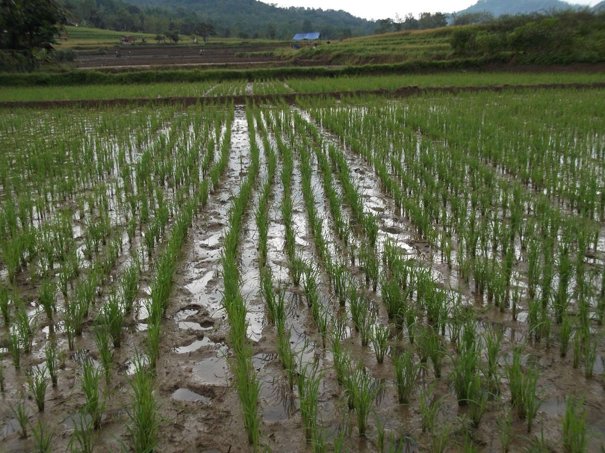 Pengairan macak macak dalam pengendalian hama keong mas pada padi