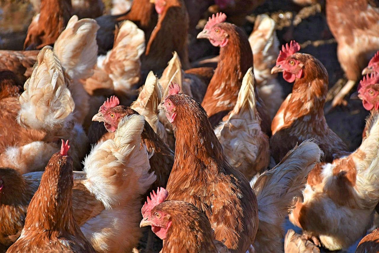 Ayam Potong merupakan peluang usaha ternak yang bagus