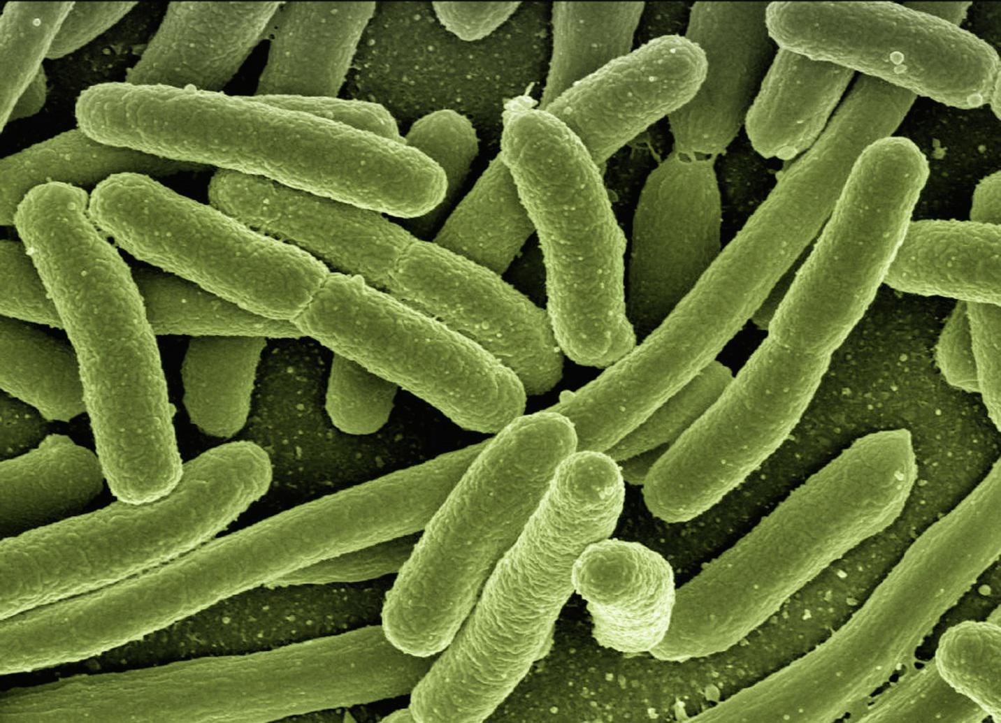 Bakteri Probiotik