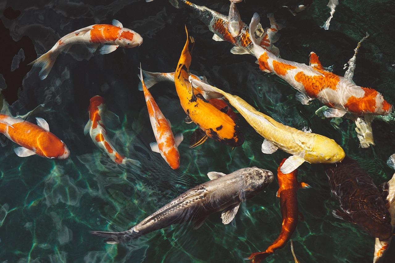 Mengapa Harus Berbisnis Ikan Koi