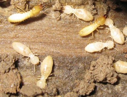 Captotermes curvignatus