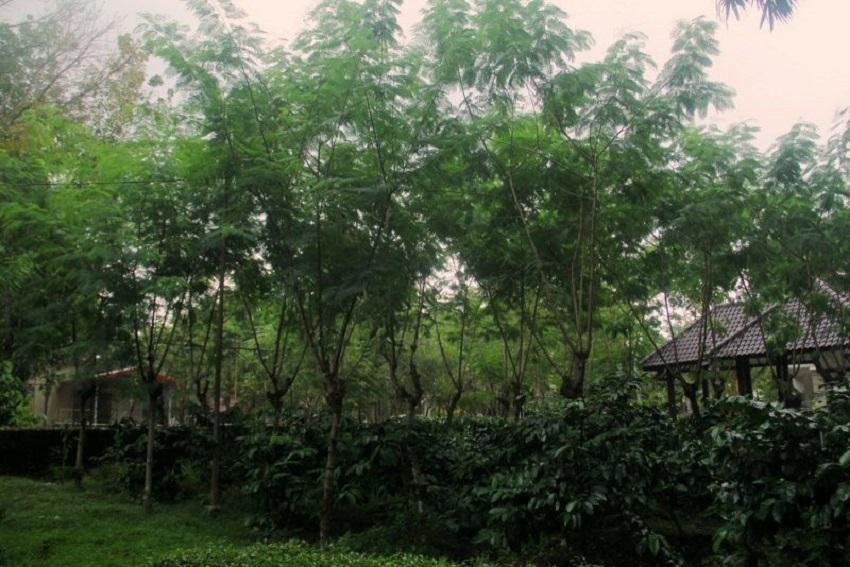 Ini Dia 5 Manfaat Pohon Lamtoro Bagi Tanaman Kopi