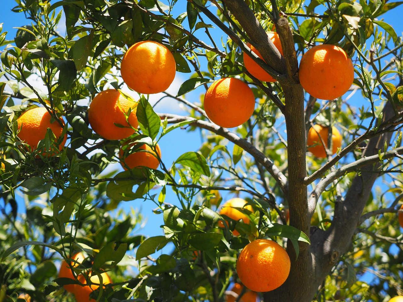 Jamu California Ampuh Atasi Jamur Batang pada Tanaman Jeruk