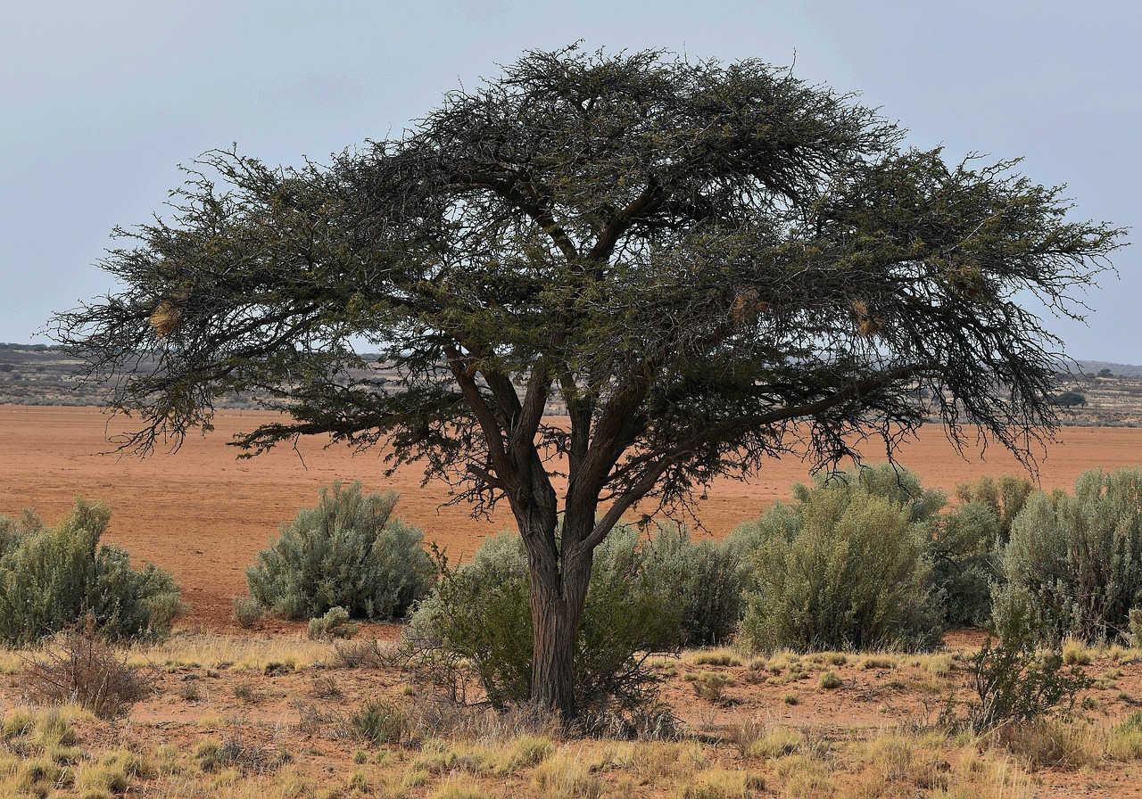 Kenali 4 Hama pada Pohon Akasia dan Cara Menanganinya