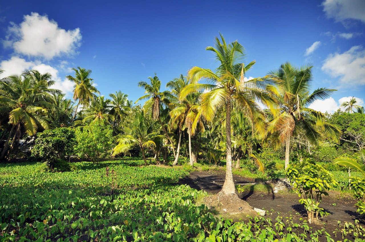 Teknik Underplanting Sawit di Indonesia, Direkomendasikan atau Dilarang
