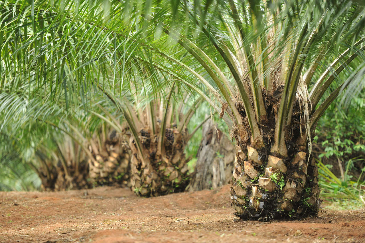 Apa Jenis Tanah yang Baik untuk Kelapa Sawit