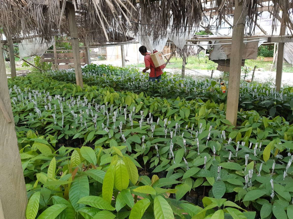 Kebun Kakao Masnawati