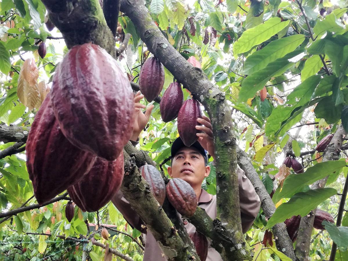Petani Kakao di Luwu Timur