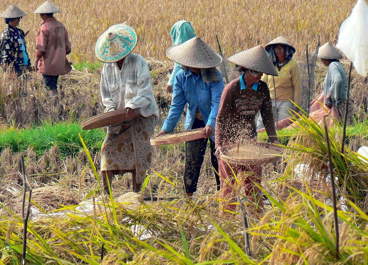 Petani Padi di Indonesia
