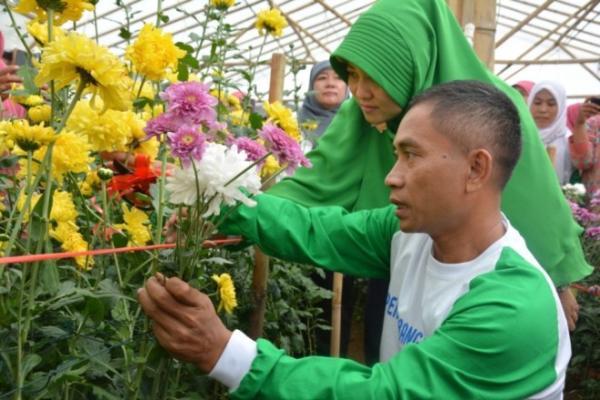 Pemanenan Bunga Krisan