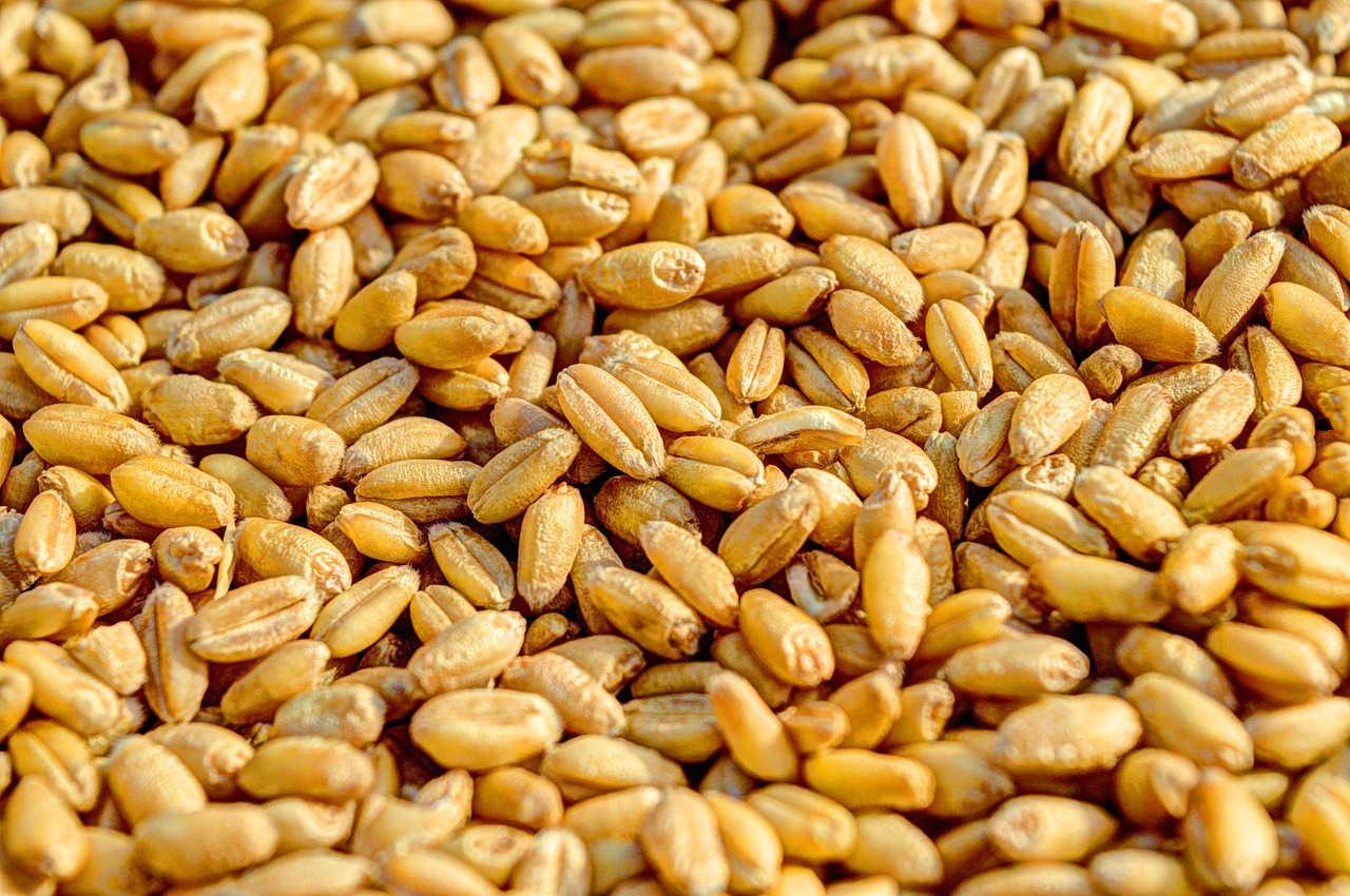 Biji Gandum sebagai sumber vitamin B9 pada unggas
