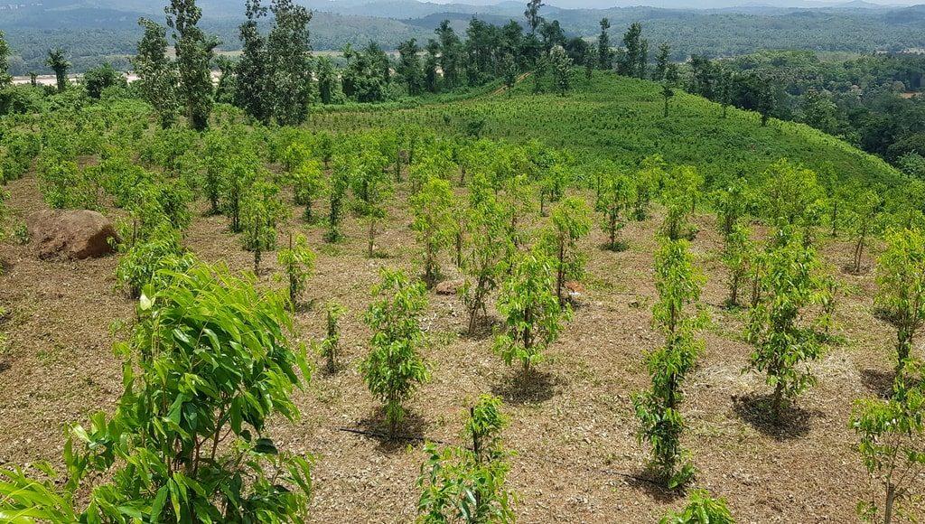 Langkah-Langkah Membudidayakan Pohon Penghasil Gaharu