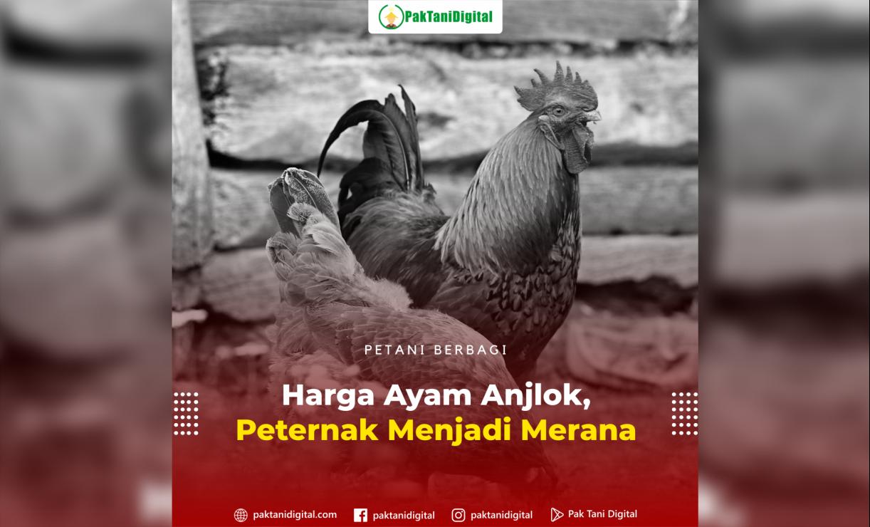 Rendahnya harga ayam mengakibatkan para peternak menjadi semakin tidak sanggup untuk menanggung biaya pemeliharaan ternaknya.