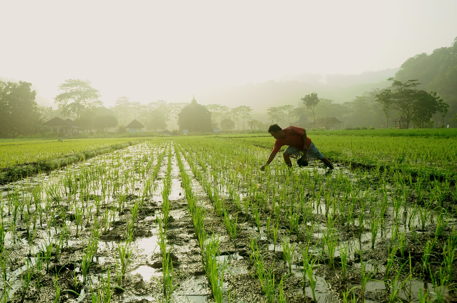 Pengaruh Swasembada Pangan Indonesia di Tangan Petani Muda